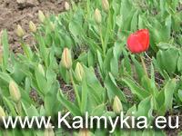 Начало цветения тюльпанов