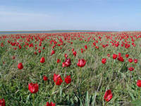Тюльпаны Калмыкия